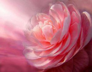 Rose ouverture du coeur - amour et conscicence